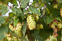 Hop cones are seen in a hop farm (hop yard) in Munnsville, NY, Thursday September 12, 2013. Used primarily as a flavoring and stability agent in beer, hops are the female flowers (also called seed cones or strobiles) of the hop plant.