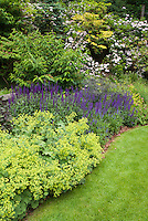 Salvia sylvestris and Alchemilla and Vibrunum next to lawn grass
