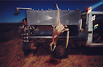 Australia, Queensland. Kangaroo hunting. Fresh carcasses are hung  up on side of truck.2001.'MEAT' across the World..foto © Nigel Dickinson