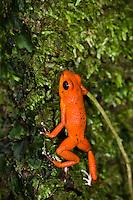 "Strawberry Poison Dart Frog (Oophaga pumilio ""Solarte""), Solarte Island, Panama"