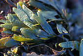 Dwarf Rockweed (Pelvetiopsis), San Mateo County, California