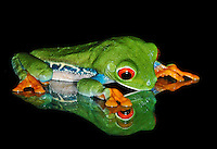 Studio shot of Red-eyed Treefrog (Agalychnis callidryas) looking at reflection, captive.