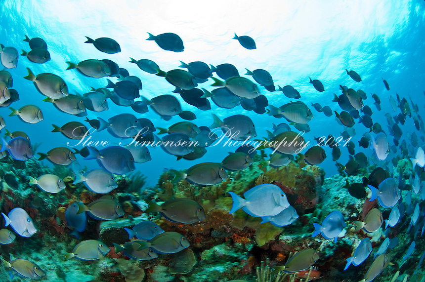 Schooling Blue Tangs<br />