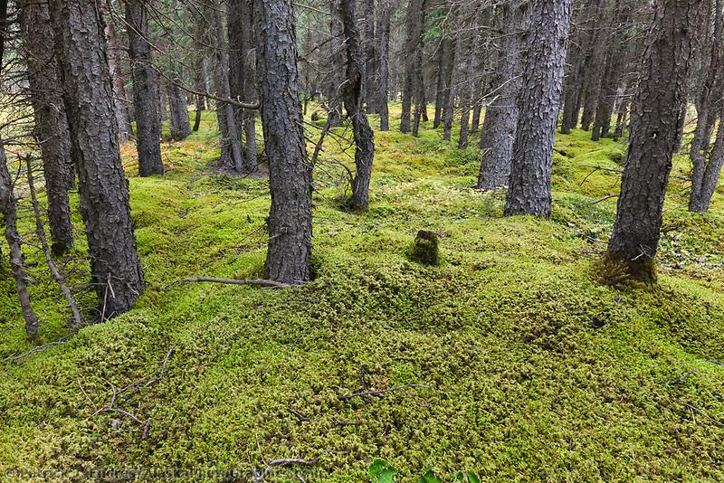 Sphagnum Moss Boreal Forest Alaskaphotographics Com