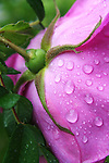 Pink rose blossom wet with raindrops