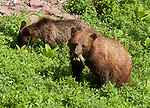A grizzly bear sow and cub (Ursus arctos horribilis, a subspecies of brown bear) forage in a field of Bear grass and other alpine plants. Grinnell Glacier Trail, Glacier National Park, Montana, USA.