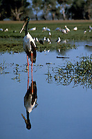 A black stork, Jabiru in Kakadu National Park N.T. Yellow Waters, Australia