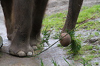 Chai steps on a piece of bamboo then breaks a twig off with her trunk, in order to eat it.  Woodland Park Zoo officials announced at a press conference Friday that 48-year-old Bamboo and 36-year-old Chai will be moved to the Oklahoma City Zoo in late March to mid-April. (photo © Karen Ducey Photography)