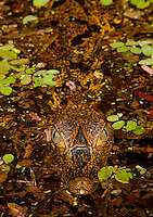 RB50427-Dv. Spectacled Caiman (Caiman yacare), juvenile resting at river surface at night. Amazon River, Brazil, South America. Cropped to vertical from native horizontal format.<br /> Photo Copyright &copy; Brandon Cole. All rights reserved worldwide.  www.brandoncole.com