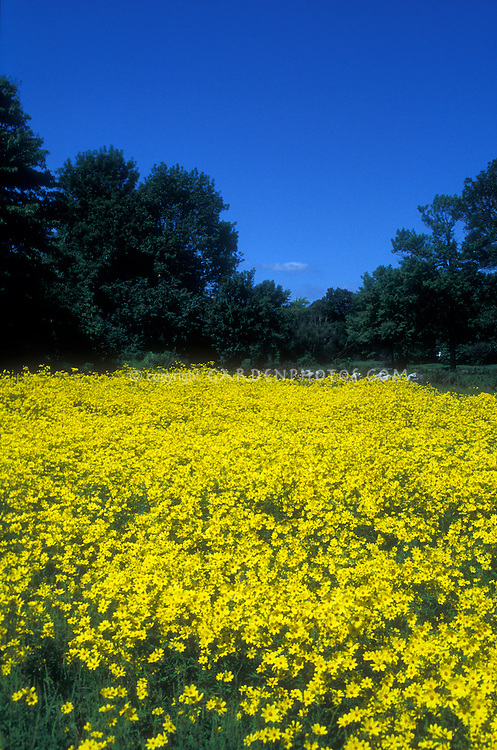 Heliopsis helianthoides Oxeye Daisy in mass meadow in wild with blue sky, trees, evergreens