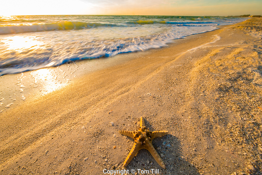 Starfish on Anna Maria Island, Florida,  Gulf of Mexco