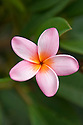 Pink plumeria blossom.