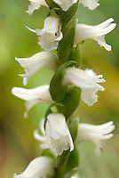 Spiranthes cernua Hardy Orchid closeup showing natural spiral pattern of stem and flowers