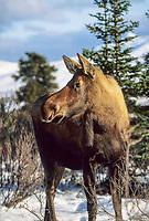 Cow moose in boreal forest, Denali National Park, Alaska