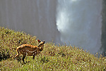 Bushbuck And Victoria Falls