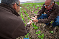 Researchers studying young romaine lettuce at D'Arrigo Farms, Salinas Valley, California