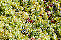 Grape harvest in the Balaton vineyards - Balaton-Fely, Hungary