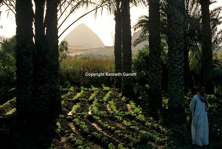 Dashur; Egypt,Bent Pyramid; 4th dynasty pyramid of Snefru, daily life, farming, palms