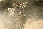 Dusty Zebra