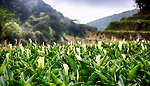 Fields of calla lilies in Taipei's Yangmingshan National Park