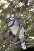 Elegant bluejay, Cyanocitta cristatta, perching on the branch of a dogwood tree, Conus florida, with new spring buds and blooms