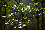 Spring dogwood in Appalachian forest