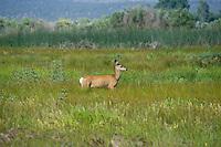 625250020 a wild mule deer odocoileus hemionus in a grassy field in modoc national wildlife refuge california