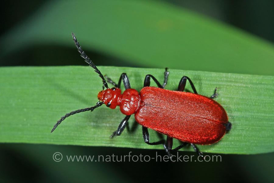Rotköpfiger Feuerkäfer, Pyrochroa serraticornis, Cardinal Beetle, Cardinal Beetles, red-headed cardinal beetle, Feuerkäfer, Pyrochroidae, cardinal-beetles, cardinal beetles