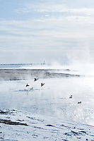 Water birds congregate at the mouth of the Dead River where warm open water meets frozen Lake Superior in Marquette Michigan.
