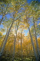 Autumn colors of aspen trees at Hart Prairie in the San Francisco Peaks area of Coconino National Forest near Flagstaff, Arizona, AGPix_0674.
