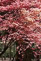 Acer palmatum 'Shindeshojo', late April.