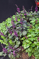 Basil herbs in container 'Wild Magic', Ajaka', Llasa,