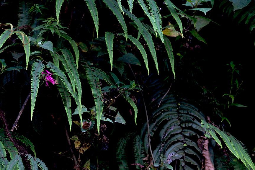 Ferns and flowers in the Peruvian Cloud Forest, Manu National Park, Peru, South America