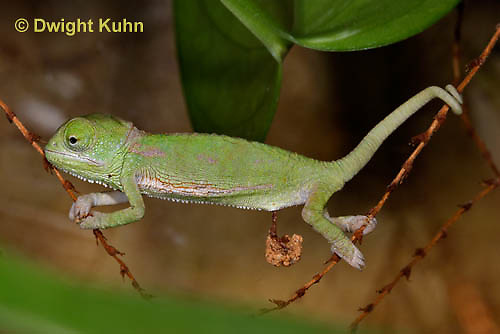 CH46-553z  Veiled Chameleon just hatched young, Chamaeleo calyptratus