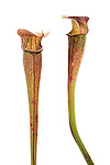 Mountain Sweet Pitcher Plants (Sarracenia rubra jonesii Wherry) are extremely rare, federally endangered plants found in only 6-8 locations spread across northwestern, south carolina and southwestern north carolina. They only grow in cataract bogs (technically fens) in exposed areas of the Southern Blue Ridge Escarpment. They are threated by drought, habitat destruction and poaching. This photo was made in the wide in a field studio. The plants were not harmed in anyway.
