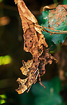 Comma Butterfly, Polygonia c-album, camouflaged on leaf, brown, dead.United Kingdom....