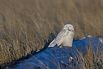 Snowy Owls make an appearance  at Damon Point, Grays Harbor County, Washington on February 5, 2012. The rare visitors from the Arctic will be staying in the area, feasting on small mammals and fattening up before departing in March headed on their way back to the Arctic to breed.  ©2012. Jim Bryant Photo. All Rights Reserved.