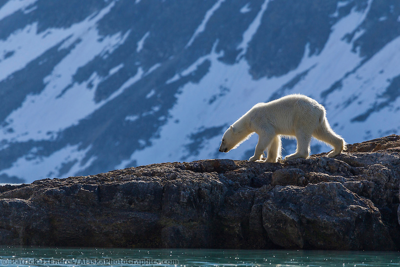 Polar bear forages for food, Svalbard
