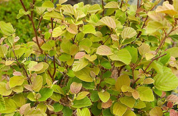 Fothergilla, (Fothergilla gardenii)