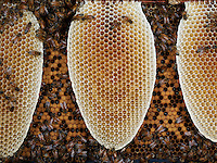 Honeysbee on a new wax comb