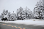 Moose on road, hoar frost covered trees,<br /> winter in Manitoba, Canada. Riding mountain national park.