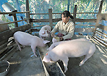A woman feeds her pigs in the Cambodian village of Bour.