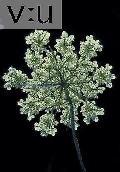 Queen Anne's Lace ,Daucus carota,, North America.