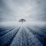 Conceptual image of a flock of birds flying over a farmers field with a bare tree