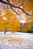 Maple trees adorned with fall foliage are seen after a light snowfall at Presque Isle Park in Marquette, Michigan in autumn.