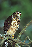 542170010 a wild roadside hawk buteo magnarostris perches on a tree limb in a tall tree on a private ranch in tamaulipas state mexico