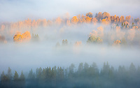 Grand Teton National Park, WY: Morning sun illuminates fall cottonwoods and pines bathed in fog in the Snake River Valley