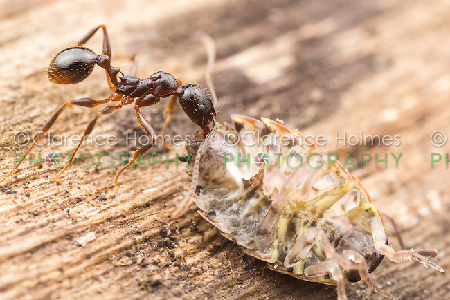 A Spine-waisted Ant (Aphaenogaster picea) carries its scavenged food, a Common Striped Woodlouse (Philoscia muscorum), back to its nest.