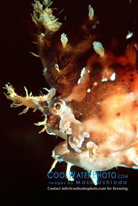 sargassum fish, .Historio historio, .Hawaii (Pacific).