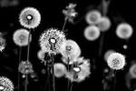 Cluster of dandelion seeds
